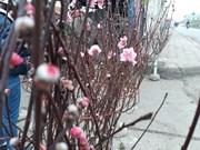 河内市部分集市出现桃花的身影