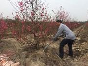 """河内花农担忧:开得正艳的桃花""""撑不到""""春节"""