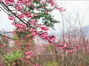 2019年第二次奠边-帕框樱花节吸引数千名游客参加