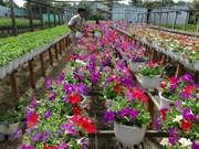 承天顺化省花农忙碌栽培  让花卉正当春节绽放