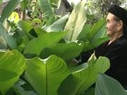河内最大柊叶种植村春节前迎来大丰收