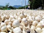 广义省李山岛大蒜品牌有待保护