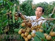 九龙江三角洲地区水果出口商春节后赶订单忙出口