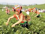 越南山罗省木州高原茶文化之美