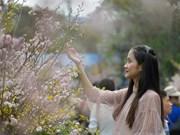 2019年日本-河内樱花节将展现世界奇观