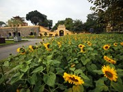 首都河内的向日葵花园颇受青睐