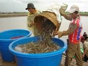 茶荣省多措并举提高虾类产量和质量
