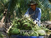 努力推动九龙江三角洲椰子行业可持续
