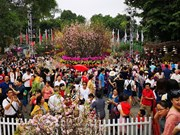 第四次河内日本樱花节将再延续一天