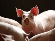 柬埔寨东北地区爆发非洲猪瘟疫情