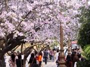 河内市首次举办羊蹄甲花节