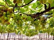2019年宁顺葡萄和葡萄酒节将吸引大量游客