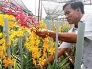 胡志明市减少对兰花种苗的依赖性  促进兰花种植业发展
