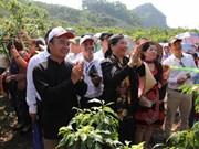 越南山罗省进入李子采摘旺季