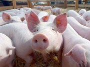 泰国采取应对措施 保护猪肉行业的发展
