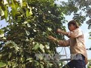 同奈省一家合作社的有机胡椒产品进军欧洲市场