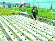 越南种植的水培蔬菜已出口到韩国