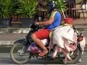 柬埔寨非洲猪瘟疫情扩大蔓延
