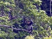 广南省将成立灰腿白臀叶猴保护区