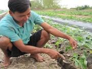 九龙江三角洲农民自主培育的西瓜种子满足日本的要求