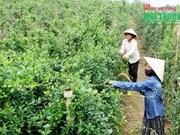 药材种植模式帮助广平省山区农民脱贫致富