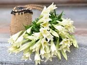 组图:百合花盛开迎接四月的到来