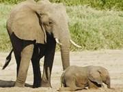加强保护得乐大象群