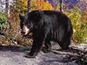 越南应加强保护熊类动物