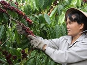 越通社帮助种植咖啡树的少数民族贫户