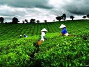 越南将举办首届国际茶联欢节