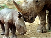 爪哇独角犀牛已在越南灭绝