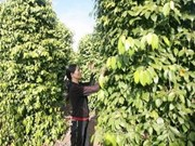 越南胡椒出口金额猛增