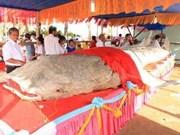 薄辽省9.7米长鲸鲨标本创越南吉尼斯纪录