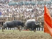 海防市图山斗牛节成为国家级非物质文化遗产