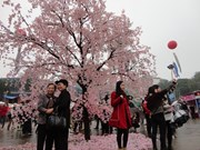 2014年广宁省下龙樱花节将于4月11日开幕