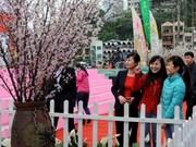 2014年下龙樱花节开幕