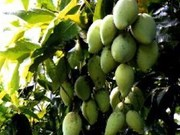 越南成功向韩国市场出口首批新鲜芒果