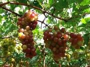 宁顺省注重发展葡萄种植业