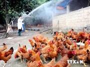 越南加强预防措施 随时应对H5N6禽流感疫病