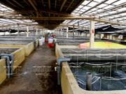 越南太平省的蛤蜊苗养殖业