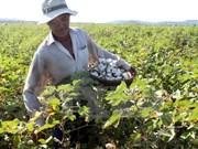 越南加大对西非和中非地区进口棉花