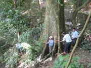 越南高平省一棵古树被列入越南遗产树名录
