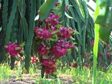越南水果质量安全标准与国际接轨