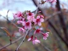 越南奠边省山上的野桃花(组图)