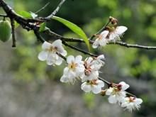 越南山萝省木州县满山遍地的杏花竞相盛开 异常迷人(组图)