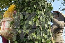 2015年越南胡椒出口量有望超过11亿美元