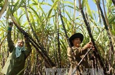 越南与澳大利亚合作互换甘蔗种苗