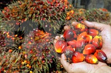 印尼和马来西亚计划成立棕榈油生产国委员会