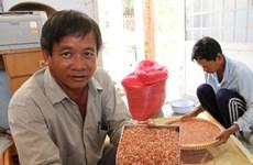越南独有的药物大米大受欧洲客户欢迎