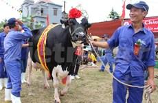 2015年越南木州奶牛选美大赛五岁奶牛夺冠